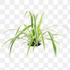 Leaf - Sweet Grass Terrestrial Plant Leaf Plant Stem Tree PNG