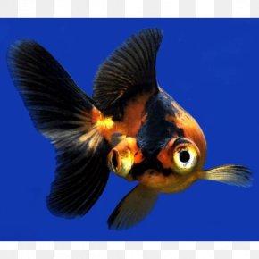 Fish - Panda Telescope Butterfly Tail Bubble Eye Ryukin PNG