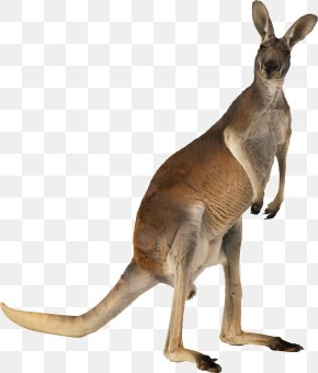Kangaroo - Australian-English, English-Australian American-English, English-American: A Two-way Glossary Of Words In Daily Use On Both Sides Of The Atlantic Australian English PNG