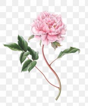 Peony File - Flower Botanical Illustration Drawing Botany Illustration PNG