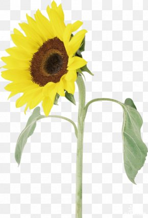Flower - Common Sunflower Adobe Photoshop Clip Art Borders And Frames PNG