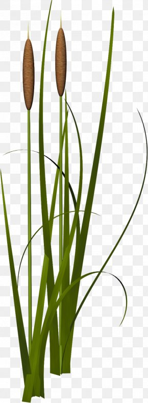 Reed Images Reed Transparent Png Free Download