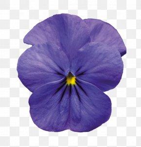 Violet Pic - Pansy Violet PNG