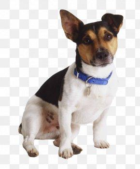 Sparkle Puppy - Jack Russell Terrier Rat Terrier Miniature Fox Terrier Tenterfield Terrier Toy Fox Terrier PNG