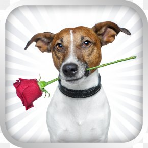 Puppy - Jack Russell Terrier Paringa Pet Food Puppy Stock Photography PNG