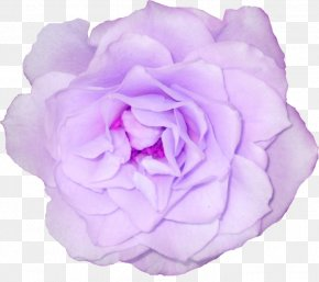 Flower - Cabbage Rose Garden Roses Flower Clip Art PNG