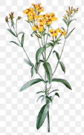 Flower - Tagetes Lucida Cut Flowers Drawing Clip Art PNG