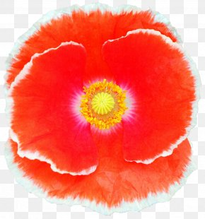 Poppy - Belur Math Jayrambati California Poppy Sri Sarada Devi Textiles PNG