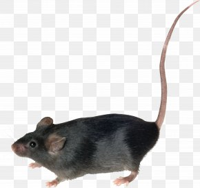 Mouse, Rat Image - Mouse Brown Rat Rodent PNG