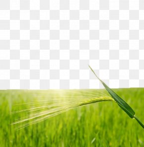 Green Rice Fields - Rice Wheat Paddy Field PNG