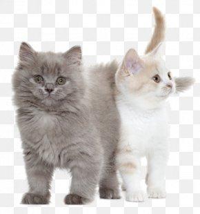 Cat - Cat Coton De Tulear Royal Canin Kitten Puppy PNG