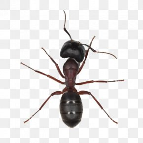 Ant - Black Garden Ant Insect Tapinoma Sessile Pharaoh Ant PNG