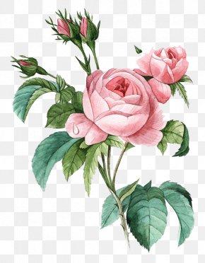 Pink Flowers - Damask Rose Flower Poster Botanical Illustration Botany PNG