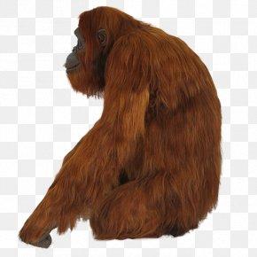 Orangutan - Irish Setter Dog Breed Spaniel Snout Orangutan PNG