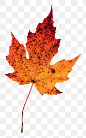 Leaf - Maple Leaf Photography Autumn Leaves Clip Art PNG