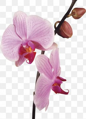 Orchid - Orchids Flower Stock Photography Clip Art PNG