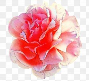 Perennial Plant Hybrid Tea Rose - Watercolor Pink Flowers PNG