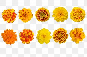 Various Varieties Of Marigold Collection - Mexican Marigold Calendula Officinalis Tagetes Lucida Flower PNG