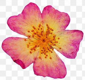 Dried - Pressed Flower Craft Petal Art Rose PNG