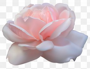 Beautiful Pink Rose Image - Centifolia Roses Pink Flowers PNG
