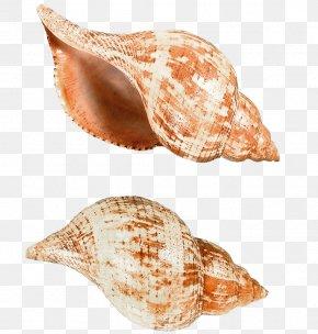 Seashell - Seashell Sea Snail Clip Art PNG