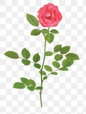 Rose - Garden Roses Stock Photography Clip Art Illustration PNG