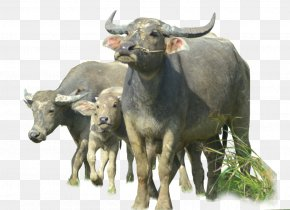 Buffalo Image - Water Buffalo PNG