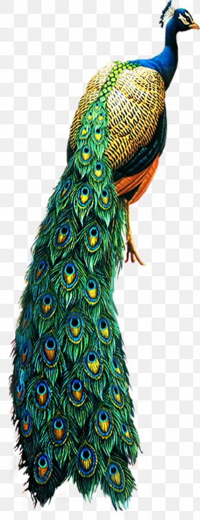 Peacock - Asiatic Peafowl Bird Clip Art PNG
