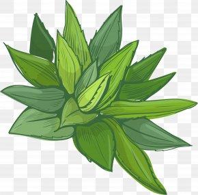 A Whole Aloe Vera - Aloe Vera Euclidean Vector Plant Pharmaceutical Drug PNG
