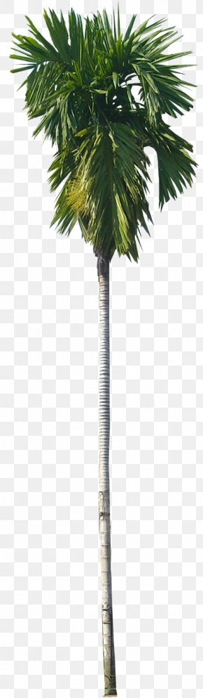 Tree - Areca Palm Arecaceae Tree Areca Nut Subtropics PNG