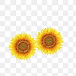 Sunflower - Yellow Close-up Transvaal Daisy Petal Wallpaper PNG