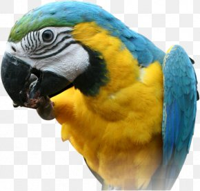 Parrot PNG Images, Free Download - Red-breasted Pygmy Parrot Bird Pesquet's Parrot PNG