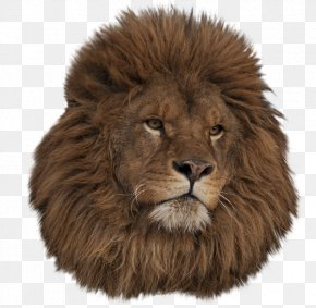 Lion Head - East African Lion Ragdoll Animal Clip Art PNG