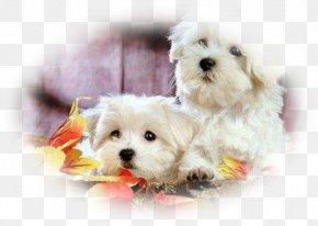 Puppy - Maltese Dog Bolognese Dog Poodle Bichon Frise Puppy PNG