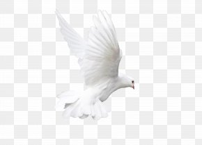 Pigeon - Rock Dove Bird White Animal PNG