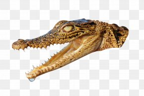 Alligator Animal Crocodile Head - Nile Crocodile Alligator Animal PNG