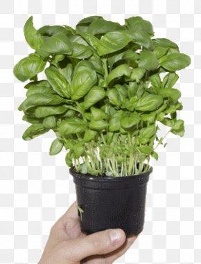 Basil - Basil Herb Kitchen Garden Pianta Aromatica Flowerpot PNG