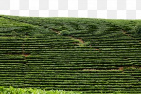 Green Tea Field - White Tea Miaoli County Fuding Longjing Tea PNG