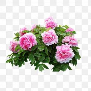 Real Flowers Pink Peony - Heze Moutan Peony U8fceu5ba2u677e Dianjiang County PNG