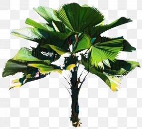 Asian Palmyra Palm Coconut Leaf Borassus PNG