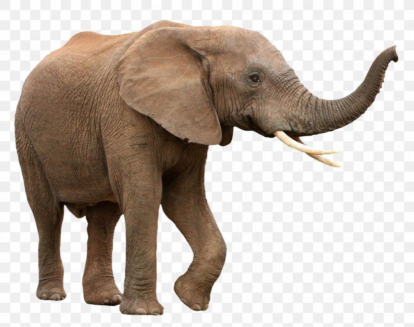 African Bush Elephant Asian Elephant African Forest Elephant, PNG, 1000x791px, African Bush Elephant, Africa, African Elephant, African Elephant Herd, African Forest Elephant Download Free
