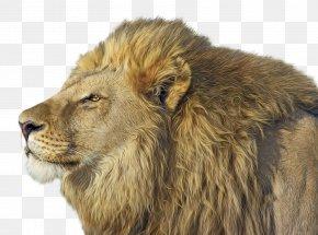 Lions - Lionhead Rabbit East African Lion Felidae Cat PNG