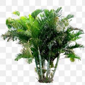 Arecaceae Areca Palm Holsteiner Blut Plant PNG
