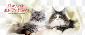 Norwegian Forest Cat - Norwegian Forest Cat Maine Coon Whiskers Kitten Domestic Short-haired Cat PNG