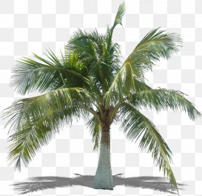Palm Leaves - Arecaceae Asian Palmyra Palm Tree Coconut Plant PNG