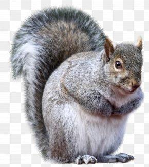 Squirrel - Connecticut Eastern Gray Squirrel Fox Squirrel Western Gray Squirrel Animal PNG