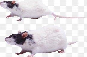 Mouse, Rat Image - Rat Mouse Gerbil Rodent PNG
