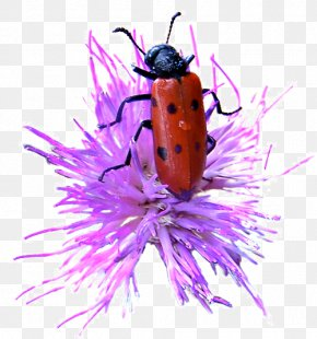 Ladybug - Insect Ladybird Invertebrate PNG