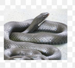 Snake - Kingsnakes Boa Constrictor Southern Black Racer Black Rat Snake PNG