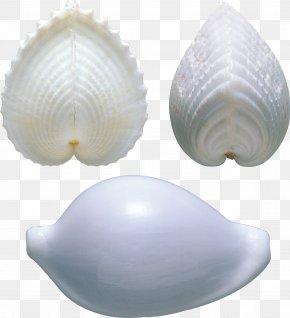 Seashell - Cockle Clam Shankha Veneroida Tellinidae PNG